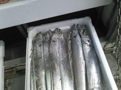 境港産太刀魚