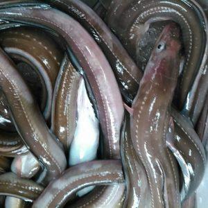 境港産鮮魚 アナゴ