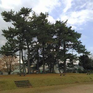 台場公園の黒松