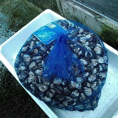 サルボウ貝