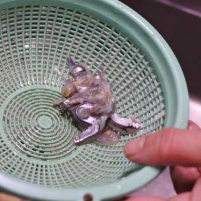 カタクチイワシの刺身作り