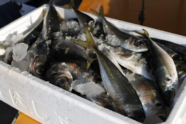 アジ 大漁