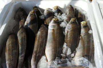 境港産鮮魚イサキ