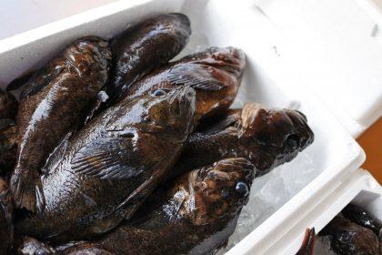 境港産 鮮魚 ムラソイ