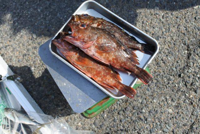 境港産 鮮魚 カサゴ