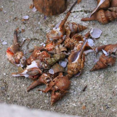 アカニシ アカベ コナガニシ 貝殻を取り除く